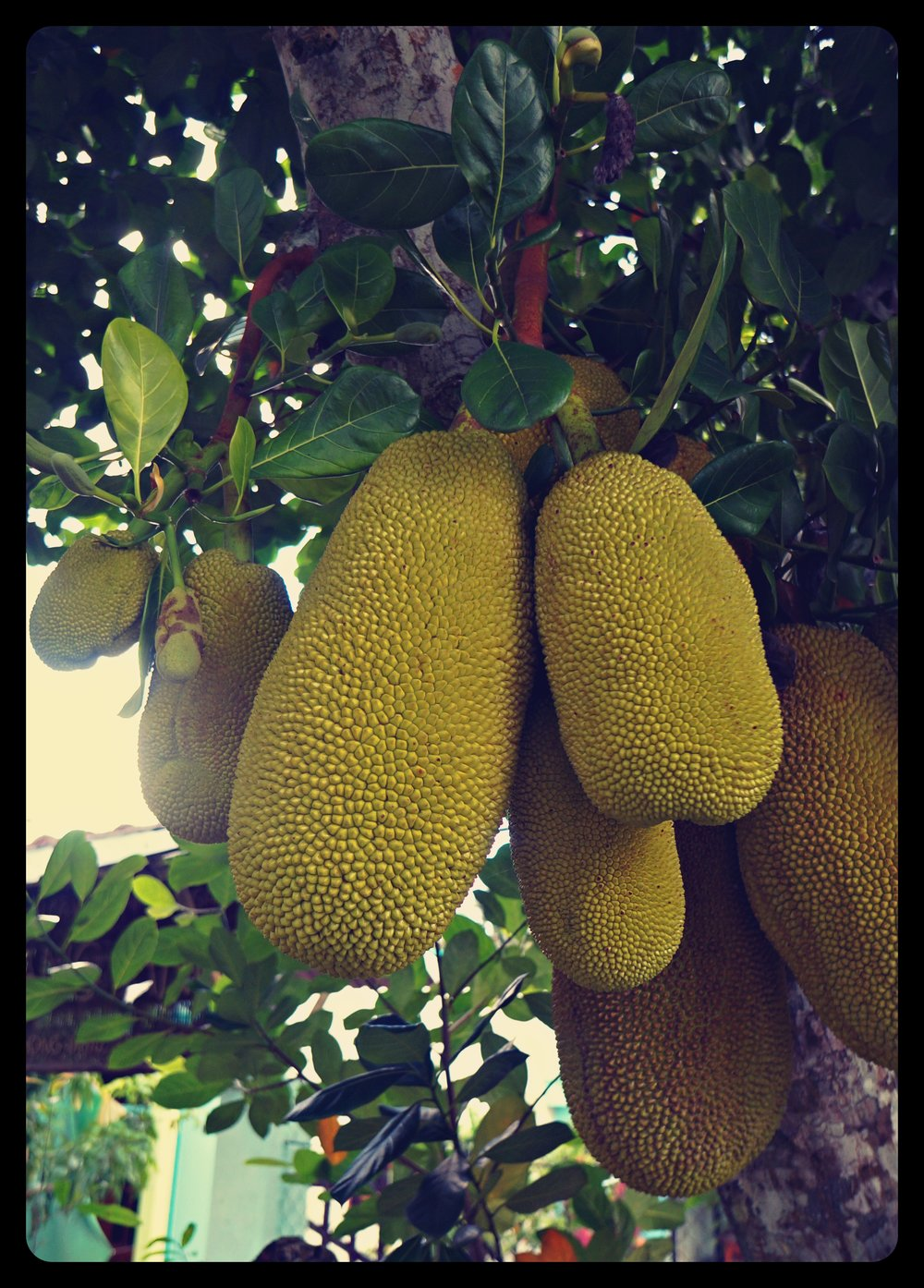 Jackfruit - the biggest fruit growing on a tree