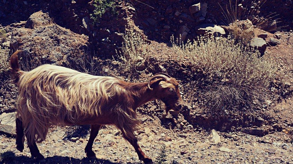 goat_altertonative.JPG