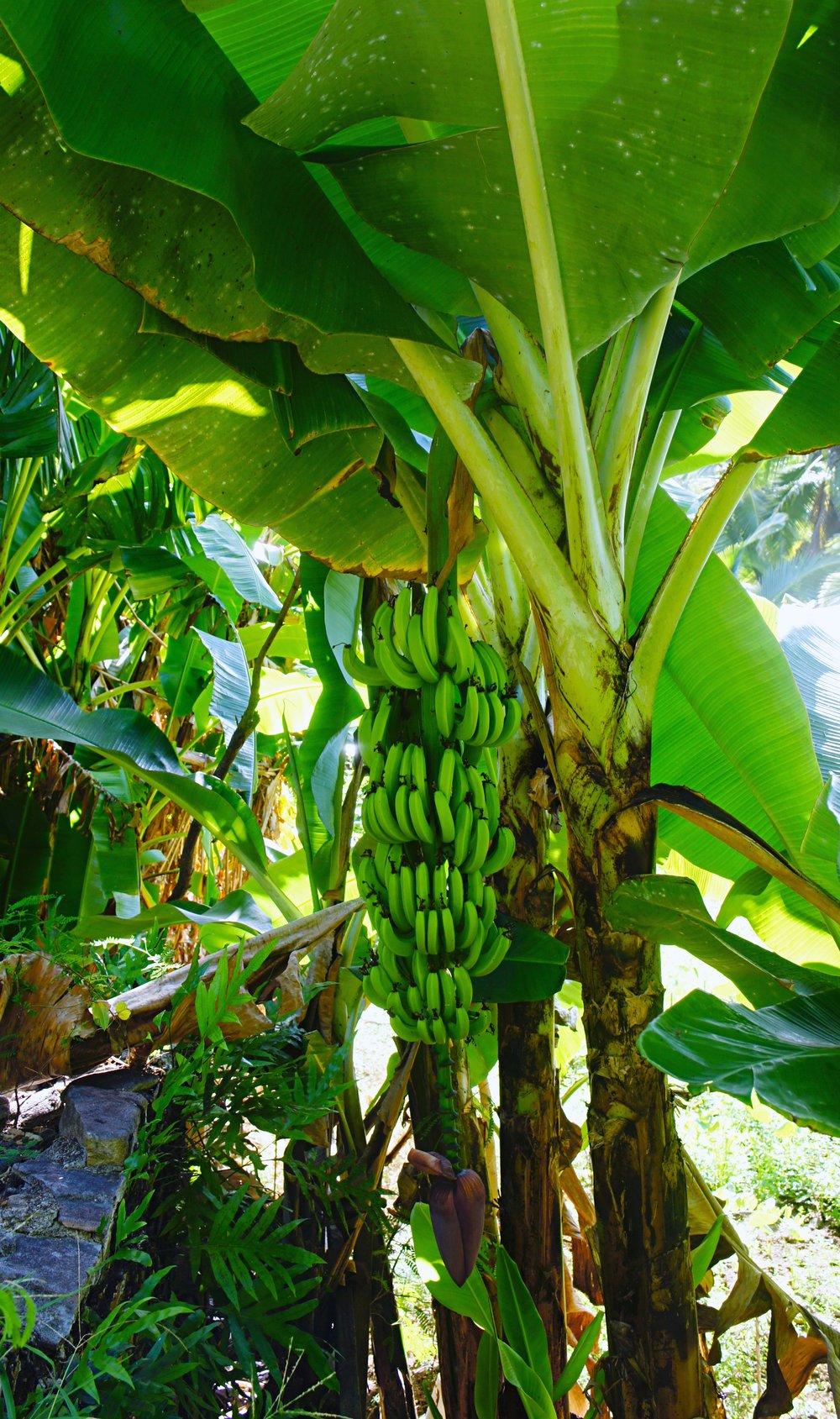 bananas_altertonative.JPG