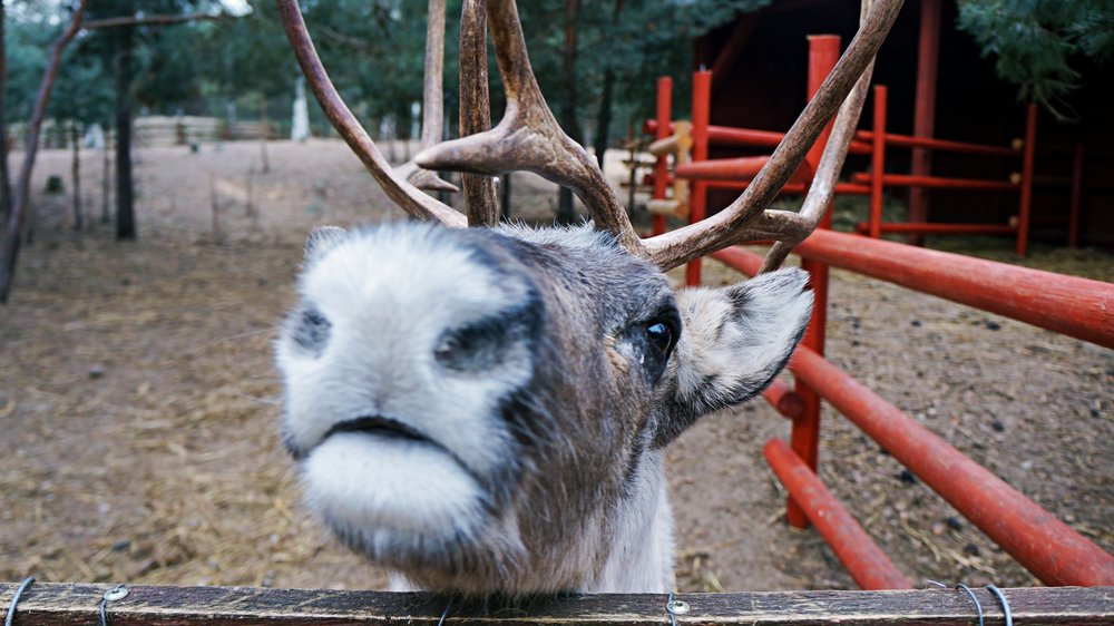reindeer.altertonative.JPG