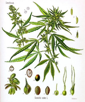 440px-Cannabis_sativa_Koehler_drawing.jpg