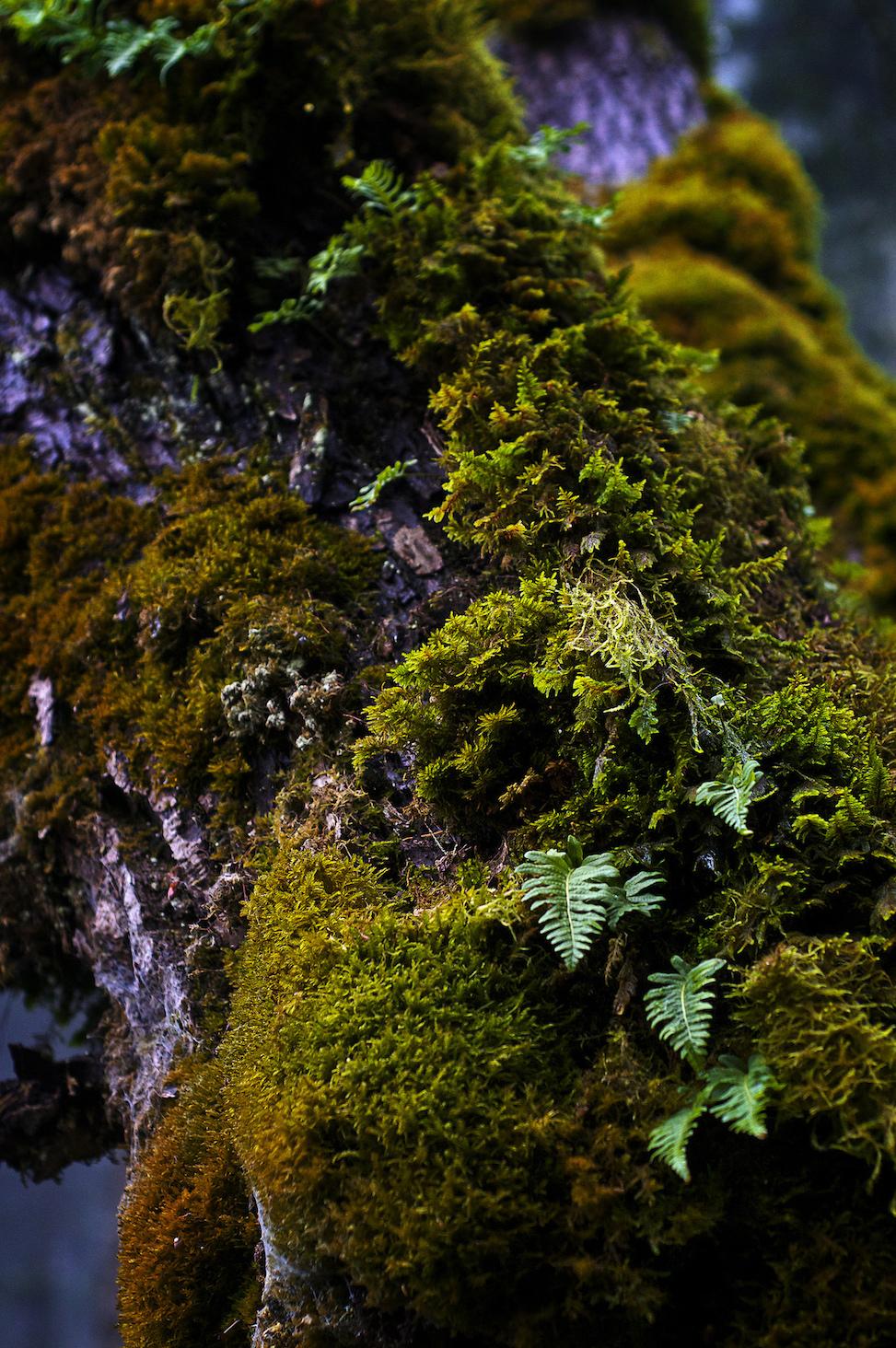 Ferns, multnomah falls, oregon
