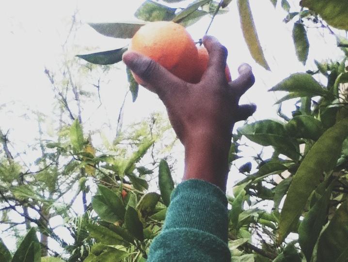 Picking oranges, San Diego, California