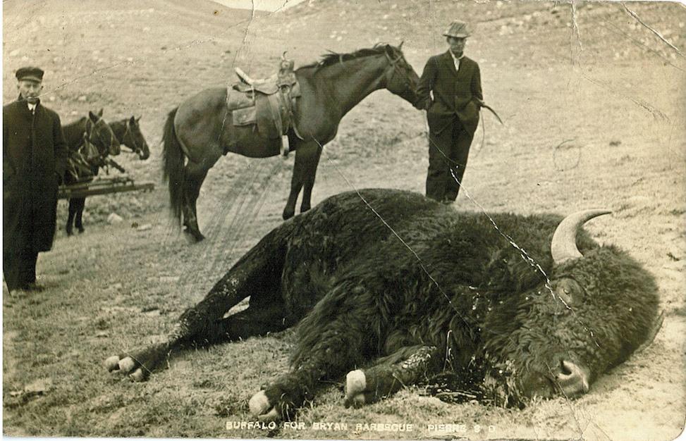 Vintage postcard, Buffalo in South Dakota