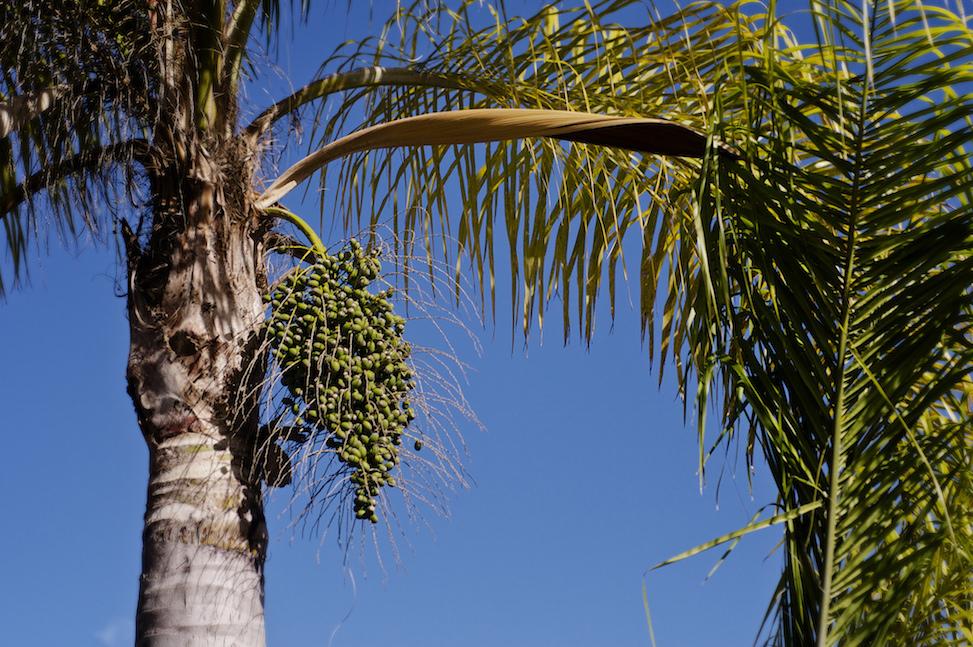 Date palm, San Diego, California