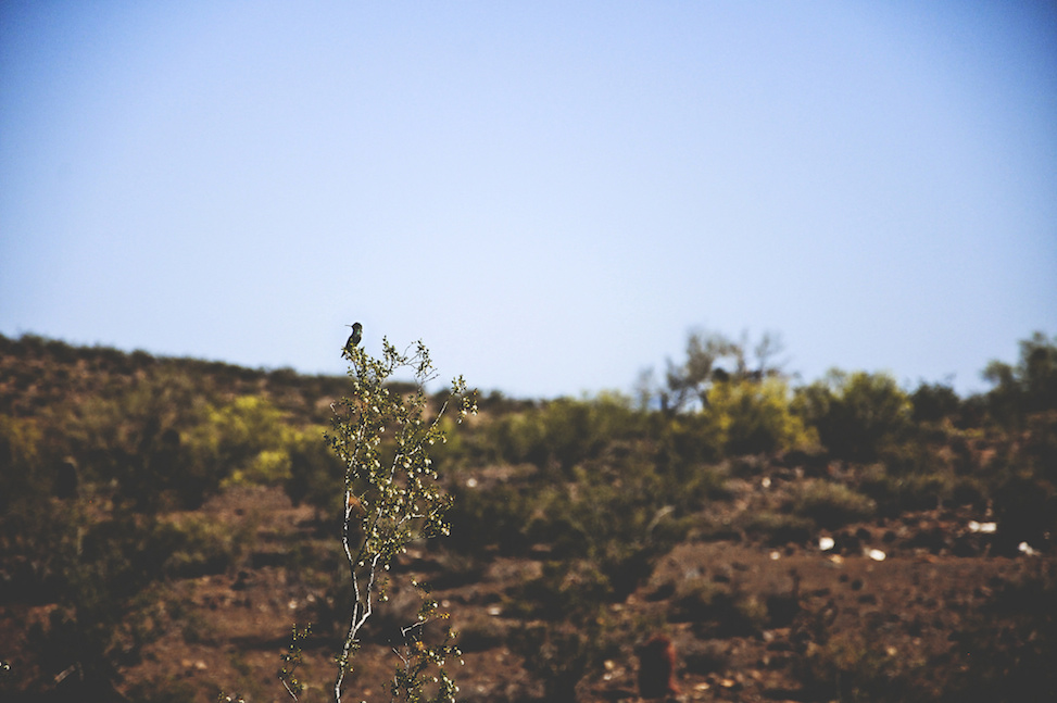 Desert hummingbird, North Mountain, phoenix, arizona