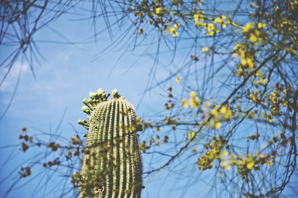 Saguaro + palo verde, phoenix, arizona