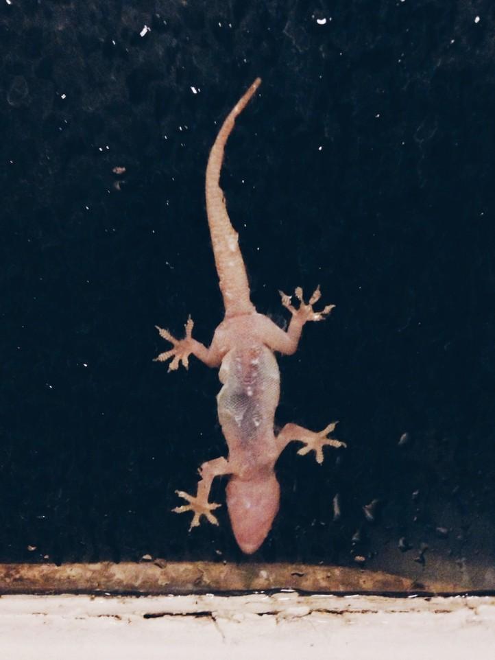 Lizard, phoenix, arizona