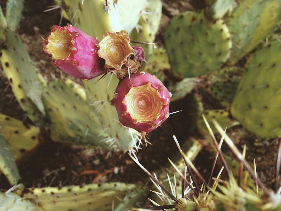 Opuntia, desert botanical garden, phoenix, arizona