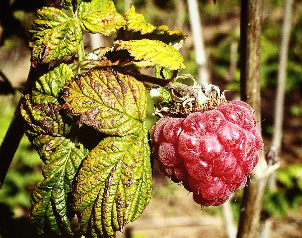 Raspberry, Mt. Barnabe farm, Lagunitas, California