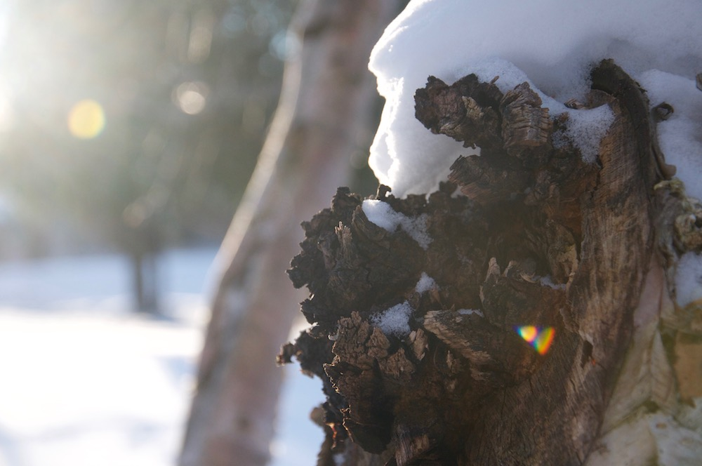 Chaga in sunlight