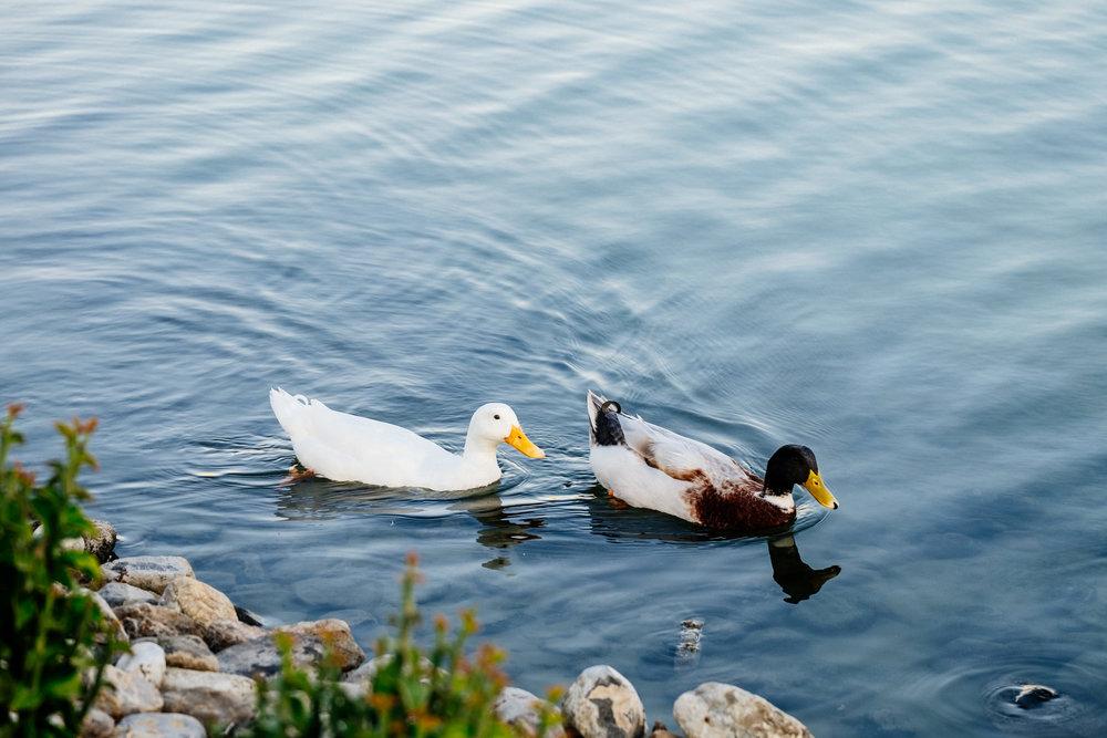 couple-of-ducks.jpg