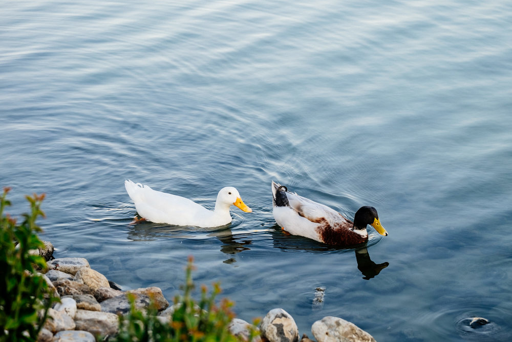 The water around the  Buhairah Corniche is home to all sorts of Ducks and Geese