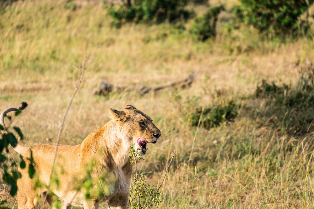 A lioness yawns in the early morning at the Maasai Mara