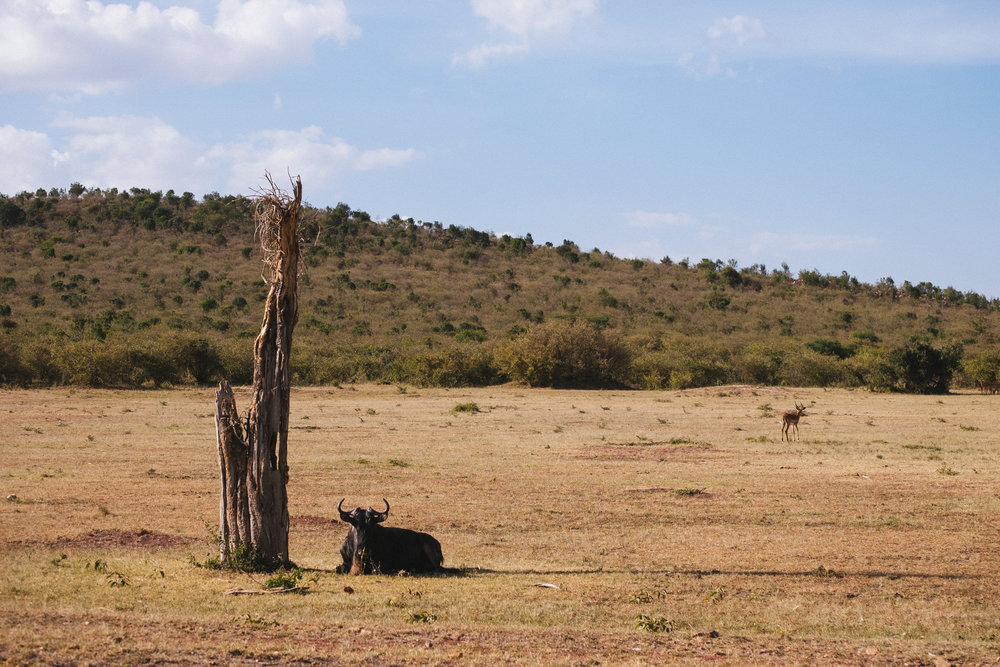 A buffalo rests in the shade of a tree stump