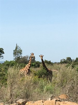 Giraffes, just 50 feet away!