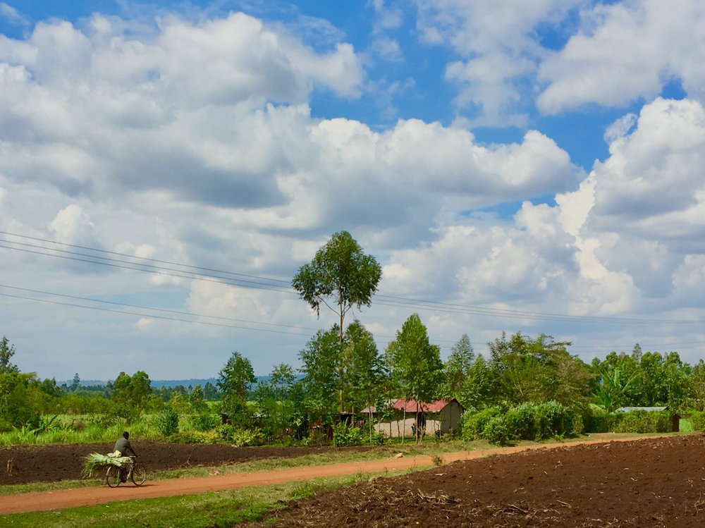 The sugar cane fields of Bungoma County