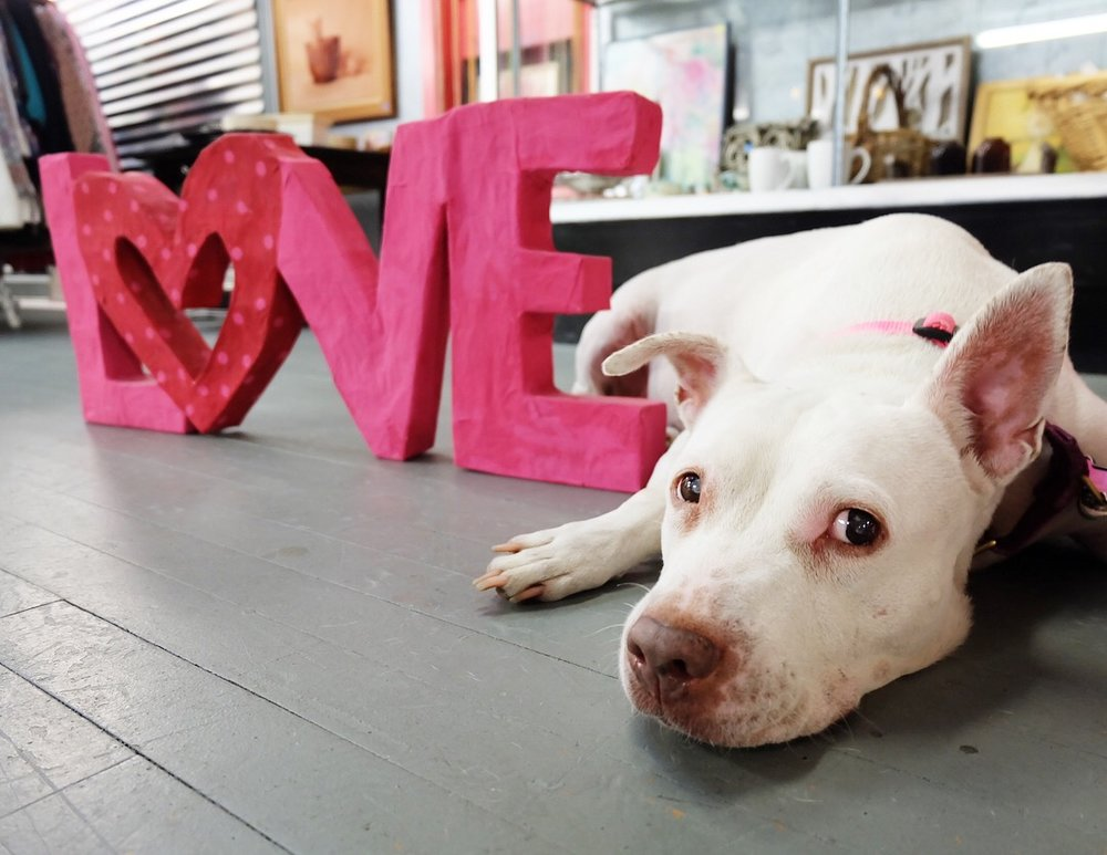 Lady Red a long-term foster at austin pets alive!