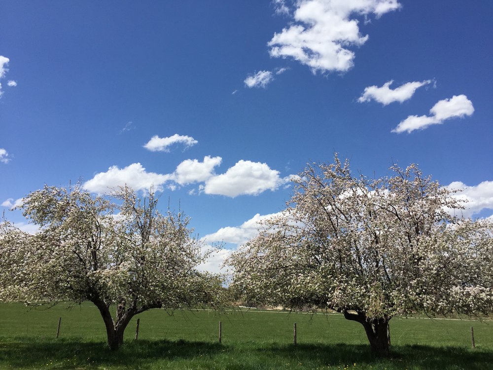 Historic Montezuma County Apple trees in bloom.