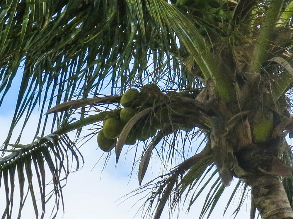 Coconuts for my caramels!