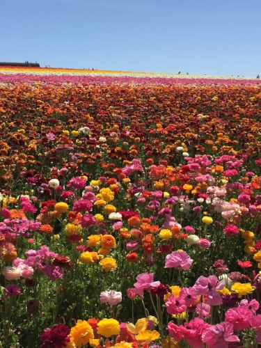 The Flower Fields in Carlsbad are a great spring outing if visiting Encinitas in the spring - babies and toddlers will love the antique tractor ride through the colorful flower fields.
