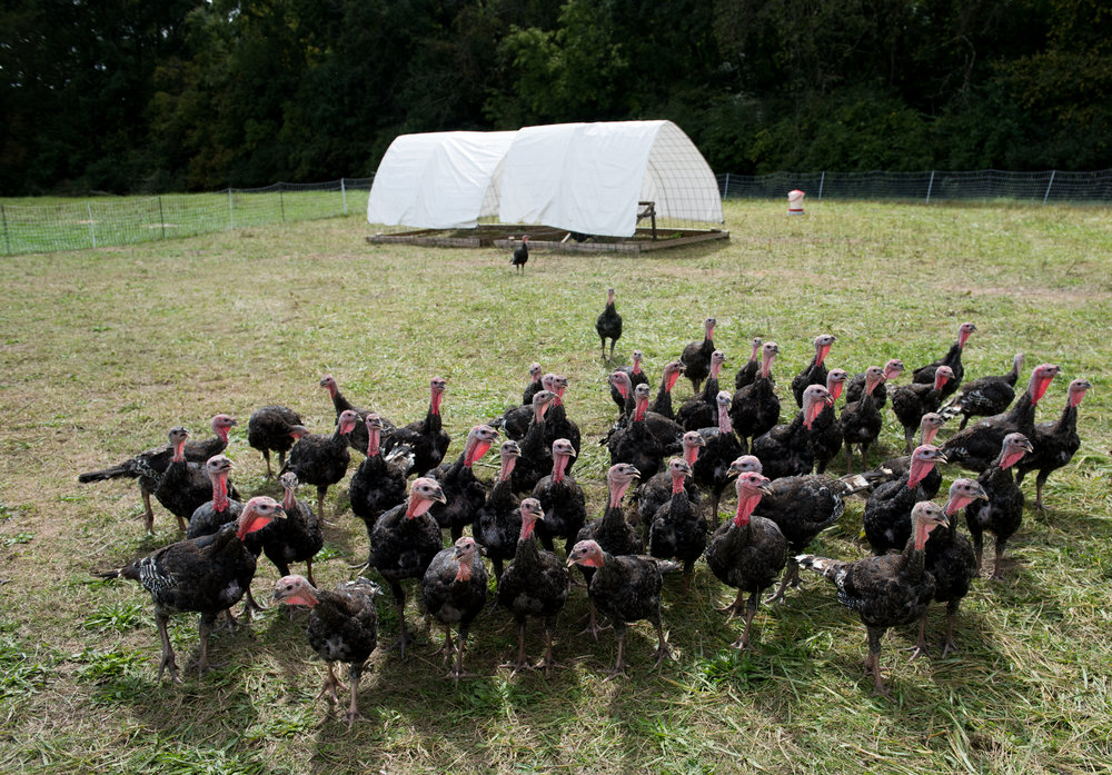 Pasture-Raised Thanksgiving Turkeys - We are one of very few farms in the region raising Thanksgiving turkeys on pasture.  We sell them fresh, never frozen.  Turkeys are available for pickup a few days before Thanksgiving at the farm.  They sell out every year so you'll want to reserve yours early!
