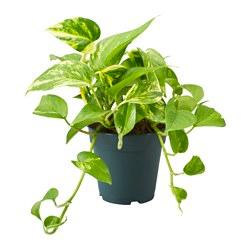 Pothos  Modulo HOH: vaso 7-10 cm  Modulo HUB: vaso 9-14 cm