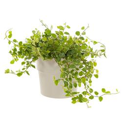 Ficus Repens  Modulo HOH: vaso 7-10 cm  Modulo HUB: vaso 9-14 cm