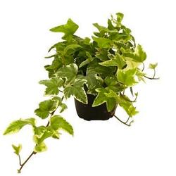Edera  Modulo HOH: vaso 7-10 cm  Modulo HUB: vaso 9-14 cm