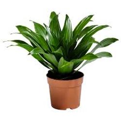 Dracena  Modulo HOH: vaso 7-10 cm  Modulo HUB: vaso 9-14 cm