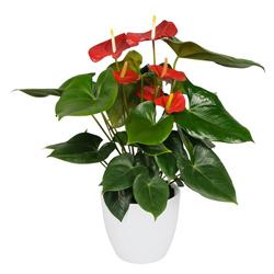 Anthurium Rosso  Modulo HOH: vaso 7-10 cm  Modulo HUB: vaso 9-14 cm