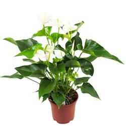 Anthurium Bianco  Modulo HOH: vaso 7-10 cm  Modulo HUB: vaso 9-14 cm