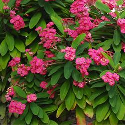 Euphorbia  Modulo HUB: vaso 9-14 cm
