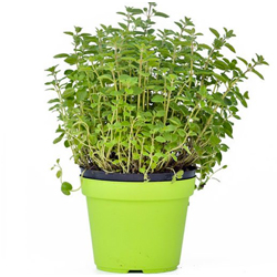 Origano  Modulo HOH: vaso 7-10 cm  Modulo HUB: vaso 9-14 cm
