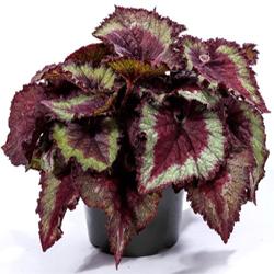 Begonia Rex  Modulo HOH: vaso 7-10 cm  Modulo HUB: vaso 9-14 cm