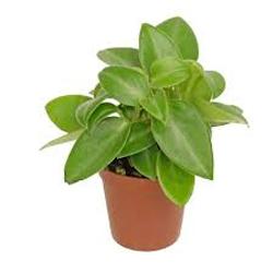 Peperomia  Modulo HOH: vaso 7-10 cm  Modulo HUB: vaso 9-14 cm