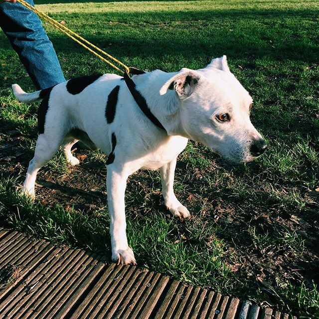 UPDATE FOUND HIS OWNER! Thanks for all the help! Xxx LOST DOG - 13 years old, deaf, named Caesar. Microchipped but no luck finding the owners. Found today at 2:30pm on Newington Green. Ran across the road from Mildmay Park Road direction. Friendly male staffie. Please get in touch if you have any info. Thanks! #lostdog #N16 #newingtongreen #london #parks