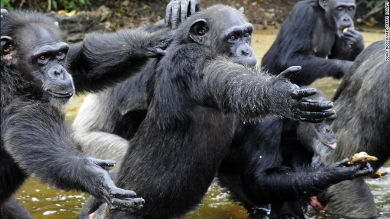 150910120327-01-liberia-chimps-exlarge-169.jpg