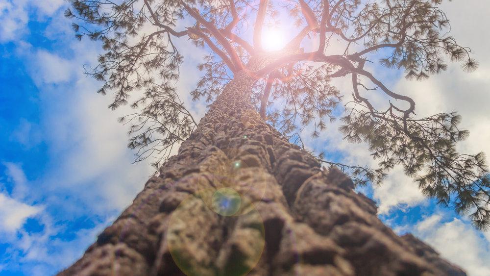 Tree Tall.jpg