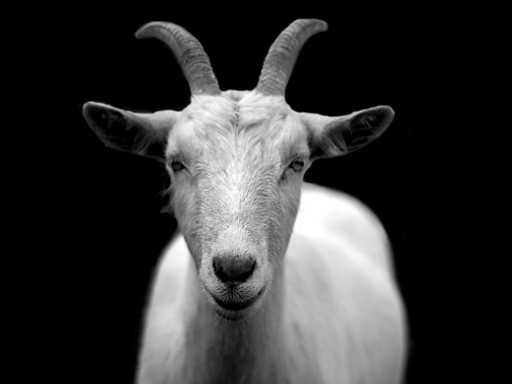 goat-animal-horns-black-and-white-86594.jpeg