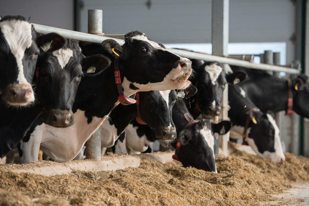 Rideau-Vet-Cow-Nutrition-1.jpg