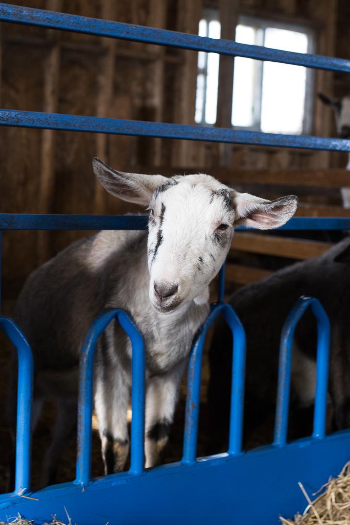 Rideau-Vet-Goat-1.jpg