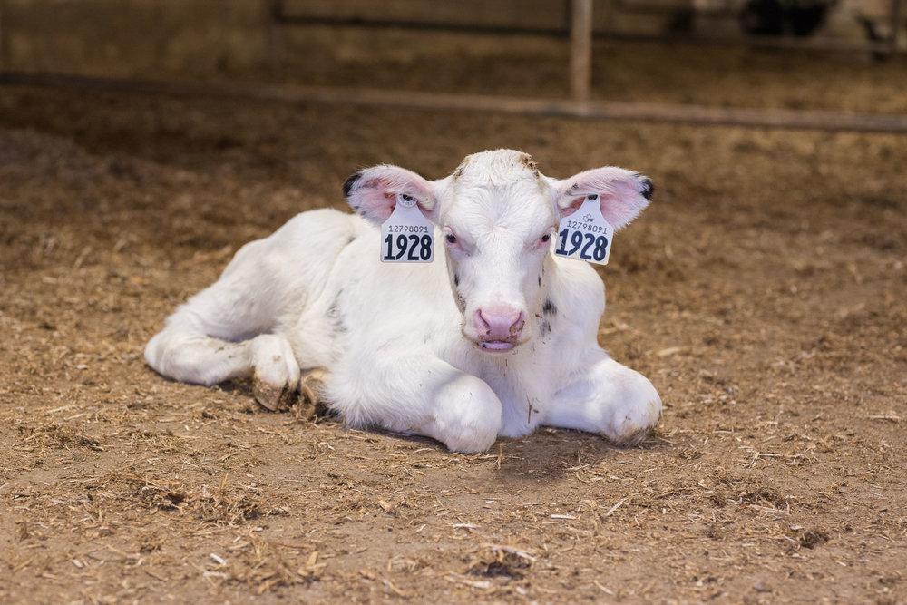 Rideau-Vet-calves-1.jpg