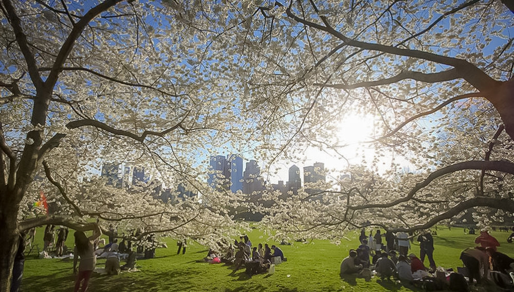 The Yoshino cherry is a naturally occurring hybrid in Japan. Central Park's Yoshino cherries, a gift of friendship from the government of Japan in 1912. Photo: lucas Compan