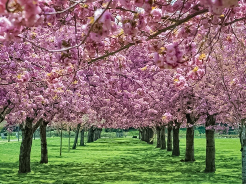 Cherry blossom at the Brooklyn Botanical Garden. Photo:    @lucascompan