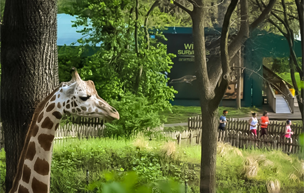 the giraffe looks at human beings trying to understand what they are doing : ) at the bronx zoo. photo:   @lucascompan
