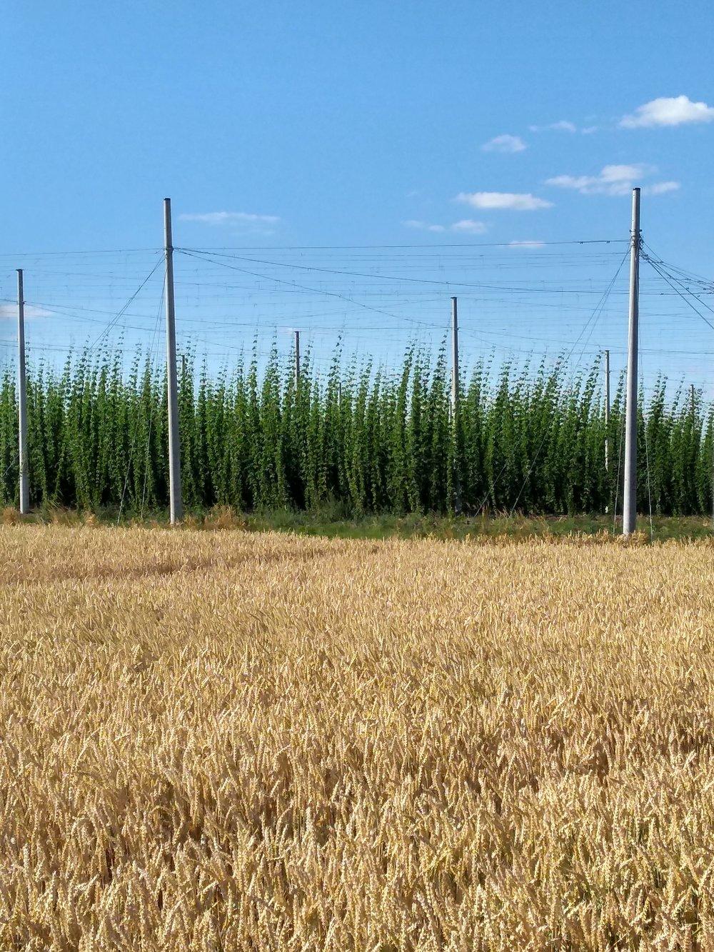 Hop field near Meuselwitz Germany.