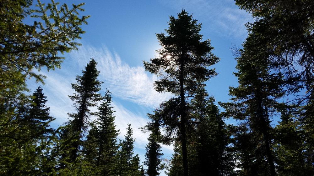 evergreens and blue sky.jpg