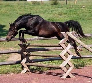 Stallion -