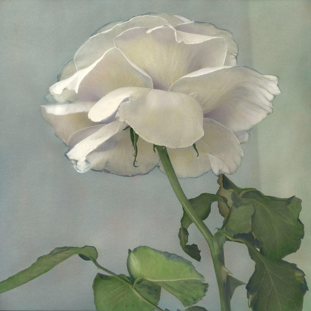 Tea Rose II